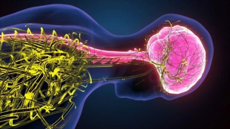 neuroni erezione